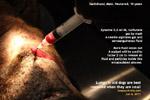 old dachshund encapsulated abscess drained, hock melanoma excised, toapayohvets