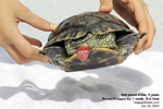 rectal prolapse, one week, red-eared glider, terrapin, toapayohvets, singapore