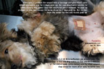 rare case of pyometra in a very young female dog, 10-month-old silkie terrier, spayed now. toapayohvets, singapore