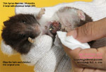 two massive subcutaneous tumours chest syrian hamster anaesthesia toapayohvets singapore
