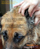 Painful ears, old big breeds, German Shepherd, Alsatian need proper sedation, ear irrigation. Toa Payoh Vets