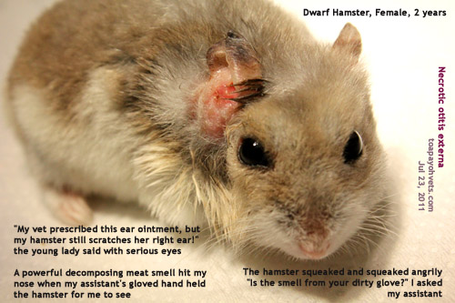 Hamsters With Big Ears Dwarf Hamster Right Ear