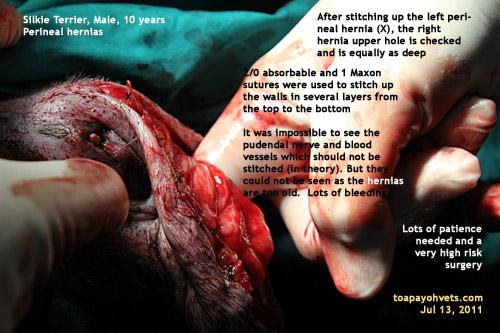 4306 - 4323. Perineal hernias in a Silkie Terrier repair pictures ...