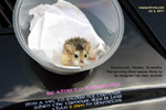 "roborovoski dwarf hamster. A vet  diagnosed ""bruised"". very fast-growing tumour. Toa Payoh Vets"
