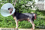 Old, male, not neutered, silkie terrier, massive perineal hernias, repair, toapayohvets, singapore