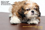 shih tzu puppy 3 months rubbing eye ulceration injury tarsorrhaphy toapayohvets
