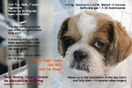 Neuter post-operation dressing care, anaesthesia, Shih Tzu Male 7 years, toapayohvets, singapore