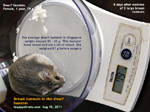 dwarf hamster 8 days after breast tumour surgery, wounds heal well. toapayohvets, singapore