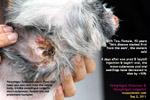 pemphigus foliaceus, vulgaris, auto-immune disease, shih tzu, female, 10 years, toapayohvets, singapore