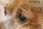 corneal dystrophy, ulcers, eyelid melanomas - miniature pinscher, 9 years, toapayohvets, singapore