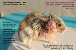 dwarf hamster, big cyst, 2 encapsulated abscesses, excised, toapayohvets, singapore, zoletil, isoflurane