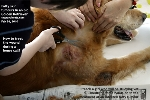 Fatty subcutaneous tumours. Old Golden Retriever. Singapore. Toa Payoh Vets