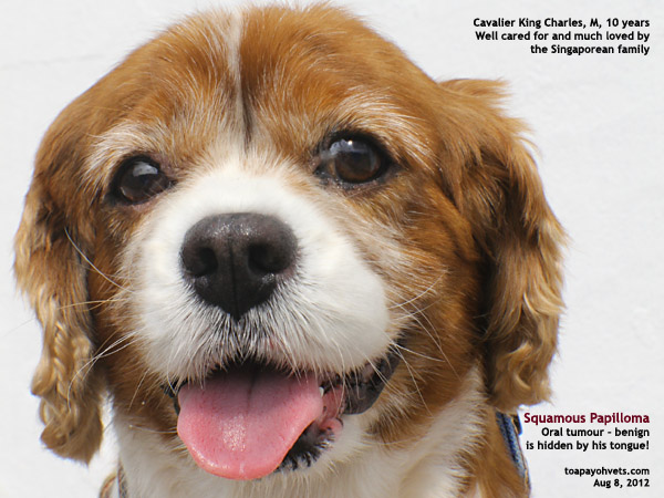 1031. Photo-essay of a case of squamous papilloma in a Cavalier King ...