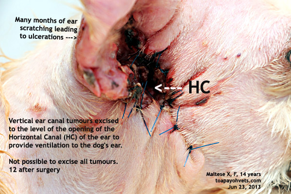 2010vets: 1481. Cancerous ear tumour spreading to the face - facial nerve injury Ear Mites Vs. Yeast Infection In Dogs