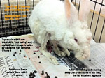 rabbit care tips - not eating - matted hair and dirtied feet - need dematting and grooming - toapayohvets, singapore